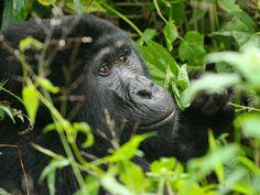 gorilla di montagna.foto di: Roberto Cattini www.tripaz.net/uganda