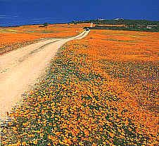Flowers in Namaqualand, South Africa