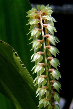 Dendrochilum cucumerinum