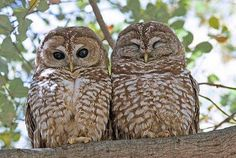mexican spotted owls -- new mexico