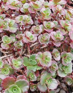 Sedum (Stonecrop) is a very diverse genus of drought-tolerant succulent plants. These attractive care-free succulents are highly sought after for use in perennial gardens, container gardening or greenroofs. Planting Succulents, Garden Plants, Succulent Plants, Colorful Succulents, Drought Tolerant Plants, Container Gardening, Evergreen, Perennials, Pink Flowers