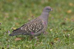 Pigeon, Weird Birds, Animals, Animales, Animaux, Animal, Animais