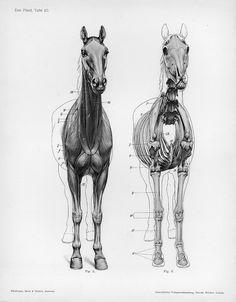 The Horse.  Ellenberger, Wilhelm, Hermann Baum, and Hermann Dittrich. 1898. Handbuch der Anatomie der Tiere für Künstler. Leipzig: Dieterichsche Verlagsbuchhandlung.