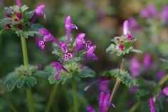 Henbit Deadnettle Robyn Stacey  #paws4critters #HenbitDeadnettle #Wildflower #TexasWildflowers #florals