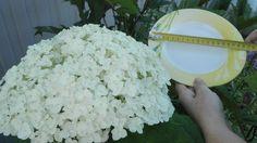 Cадовая Фея/Цветы многолетники растения для сада