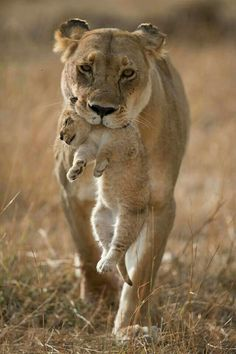 A beautiful Lioness carrying her cub..