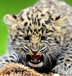 Amur Leopard Cub..Hey go away paparazzi I'm chilling here or i'll get my mum and she'll make you my lunch MEOW!