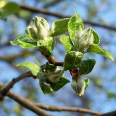Spray fruit trees with fungicide in early spring before flower buds open.