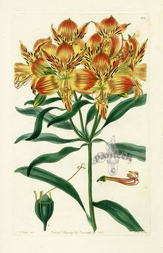 Robert Sweet Flower Garden Prints 1838