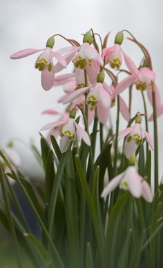 pink snowdrops - something you don't see in the south -- snowdrops-- first signs of spring that peep up through the snow...