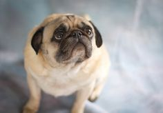 Pugs have mastered the perfect begging face (which explains why so many pugs have weight issues)