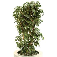"""For something slightly different, a hybrid of the original Ficus benjamina, Ficus benjamina """"Vivian"""" has a variegated darker tone of green leaves but still boasts the same high VOC rating of"""