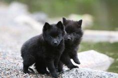 Schipperke Puppies... So cute :)