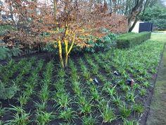 Luzula sylvatica Ornamental Grasses, Plant Design, Shrubs, Planting, Gardening, Landscape, Warehouse, Garden Ideas, Flowers