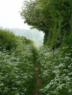 Queen Anne's Lace in a Yorkshire lane