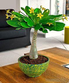 Суккуленты – это растения, которые могут удерживать влагу и расходовать ее по мере необходимости. В группу суккулентов относят растения разных видов, происхождения, совершенно отличные внешне. Объедин...