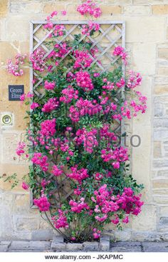 Image result for bougainvillea on trellis