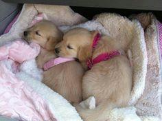 Golden sweethearts