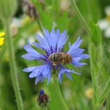 Wildflower Seed Mix for Smaller Gardens