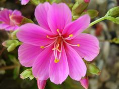 Solitaire purple pink.