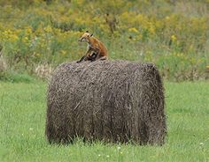 Hay! that's a fox!