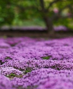 Alternatives to Grass, Creeping Thyme