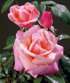 Rose 'Silver Jubilee' • Rosa 'Silver Jubilee' • Plants & Flowers • 99Roots.com