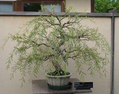 saule bonsai