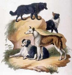 Collies from about the early 1800s.
