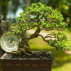 #bonsai #tree #arvore