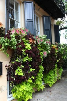 Window box with coleus, sweet potato vine and caladium