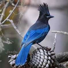 We see these Stellar's Jays at our feeder daily.