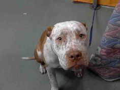 __Please HELP me__Do NOT let me DIE__ SAD DOG - ID#A550506 (available 1/29) https://www.facebook.com/photo.php?fbid=411357545615916=a.407457879339216.97606.118795328205474=1=nf male, brown and white Pit Bull Terrier. I am about 1 year old.  I have been at the shelter since Jan 24, 2013. For more information about this animal, call: San Bernardino County - Devore Shelter at (909) 386-9820