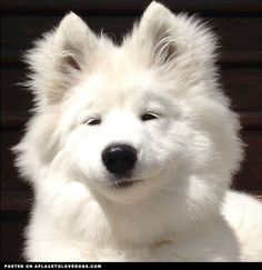 Sweet Samoyed Wynter with a silly expression on her face! Oh, Wynter you still look beautiful no mater what!