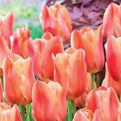 Stunning Apricot Tulip