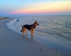 The German Shepherd is an adaptable, intelligent and versatile dog breed utilized worldwide. It gets recognized as one of the most popular of all breeds. German Sheperd Dogs, Shepherd Dog, German Shepherds, Dog Tumblr, Malinois, Bulldog Breeds, Gsd Dog, Schaefer, Dog Photos