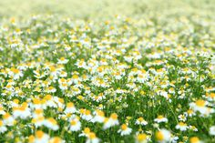 How to Make a Chamomile Lawn