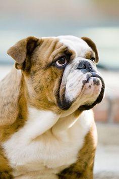 English Bulldog Bul Quiet Dog Breeds Best Apartment Dogs Dog