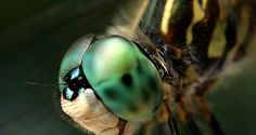 Most Beautiful Dragonfly   DragonFly Macro by Justin Johnstone