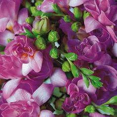 'Pink Passion' Freesia