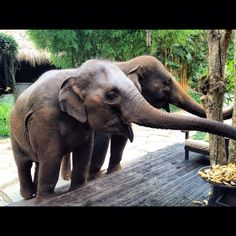 Breakfast with the gentle giants at @Four Seasons Tented Camp Golden Triangle, Thailand  #TentedCamp