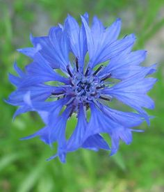 Planting Seeds, Planting Flowers, Flowers For Algernon, Blue Plants, Wonderful Flowers, Colorful Garden, Blue Flowers, Poppies, Natural Beauty