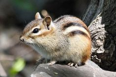 chipmunk - Bing Images