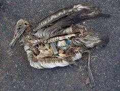 Albatro morto a Midway. Scopri cos'è l'isola di plastica: http://animalivolanti.xyz/l-isola-di-plastica-che-uccide-milioni-di-uccelli/ #uccelli #inquinamento