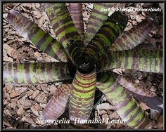 Neoregelia 'Hanibal Lector' $20.00 - Collecting Bromeliads and Orchids in Florida