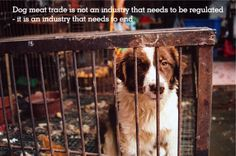 """""""Dog meat is eaten for reasons of superstition not for protein. It is not eaten out of poverty. Millions of people already have dogs as companions and farming dogs is difficult and expensive. While there is a market for dog meat that temptation to steal will always be there. For all these reasons, this is not an industry that needs to be regulated - it is an industry that needs to end."""" - said Animals Asia Cat and Dog Welfare Director Irene Feng."""