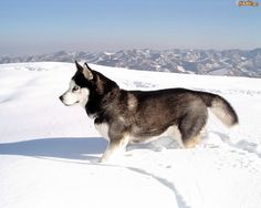 The alaskan husky is a striking similarity to the siberian husky. These working dogs are great for sledding. Check out some pictures of the alaskan husky puppy. Alaskan Husky, Siberian Husky Dog, Alaskan Malamute, Malamute Dog, I Love Dogs, Cute Dogs, Snow Dogs, Dog Wallpaper, Husky Mix