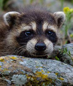 Raccoon Baby Portrait by White-Voodoo.deviantart.com on @DeviantArt