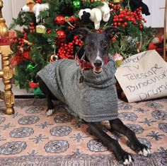Lexi is in position, awaiting Santa! #greyhounds