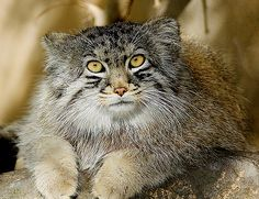 Pallas's Cat (Felis manul), also known as the Manul, is a small wild cat of Central Asia.